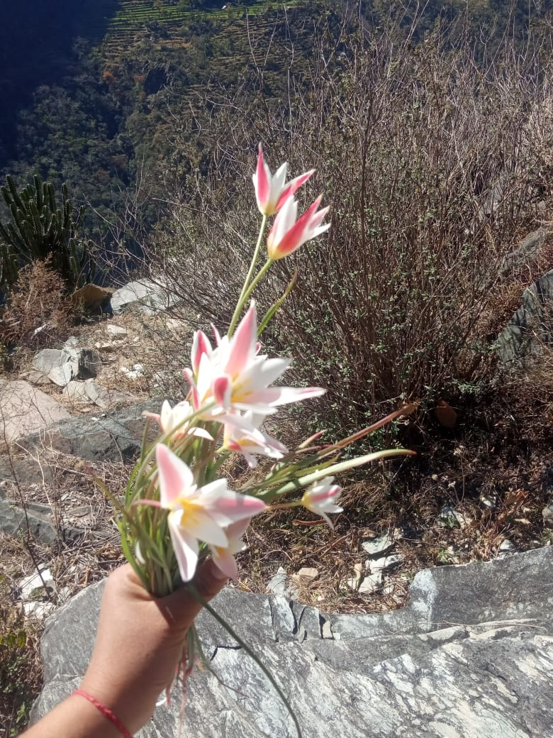 Tulipa clusiana Redoute – Titru ka phool (तितरु का फूल), Mingha, Mareenu.