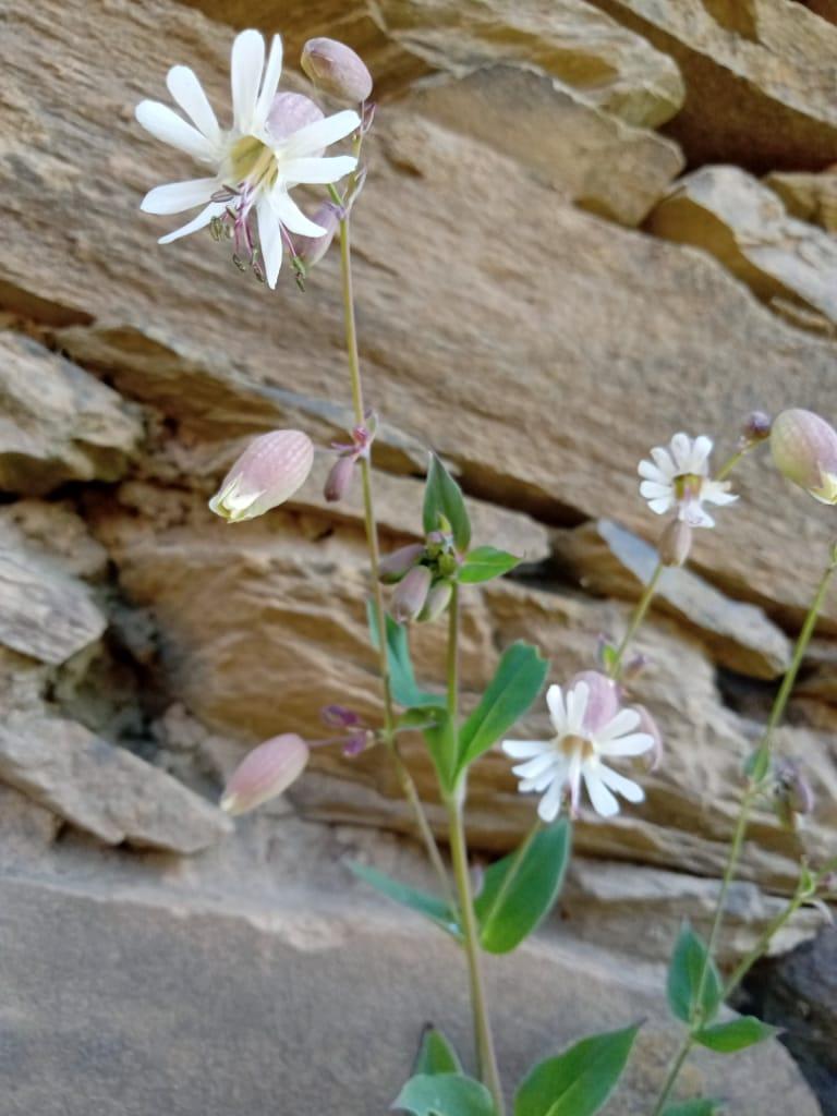 Silene vulgaris (Moench) Garcke – Jhunjhunu gha (झुञ्झुणु घा)