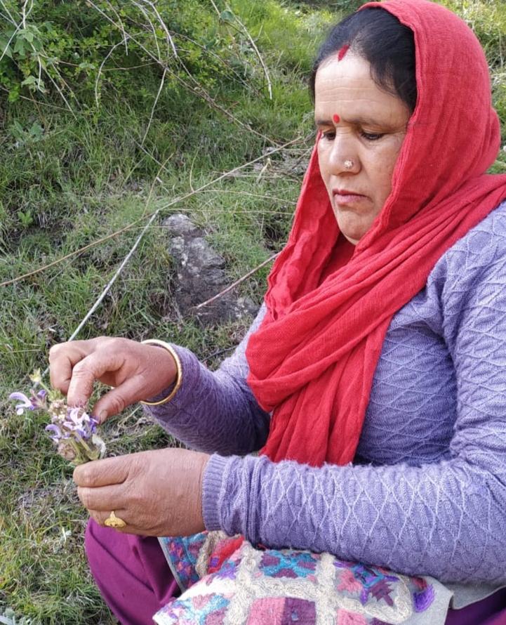 Salvia lanata   Roxb.- Chakor ka ghass (चकोर का घास)