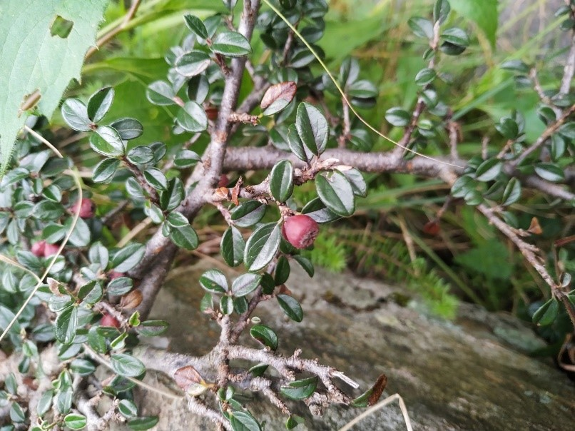 Cotoneaster microphyllus Wall. ex Lindl.- Khilgu (खिलगु), Chaddu