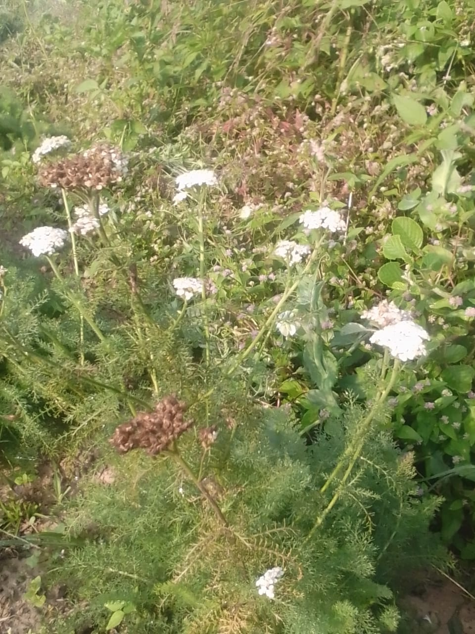 Achillea millefolium L.- Losar (लोसर), Gandan.