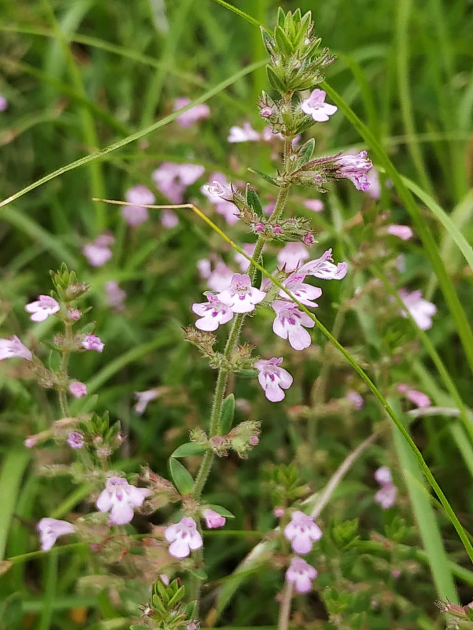 Micromeria biflora (Buch.-Ham. ex D. Don.) Benth.- Pushanbanda (पूषनबंदा)