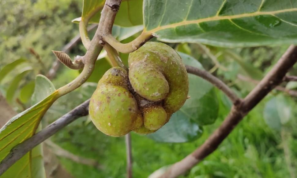 Artocarpus lacucha (Buch. -Ham) – Dheu (ढेऊ)