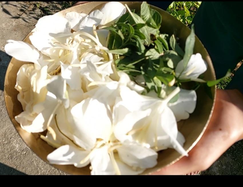 Hedychium coronarium  J.Koenig- Safed.- Banadark (सफ़ेद बनअदरक), Shoyee