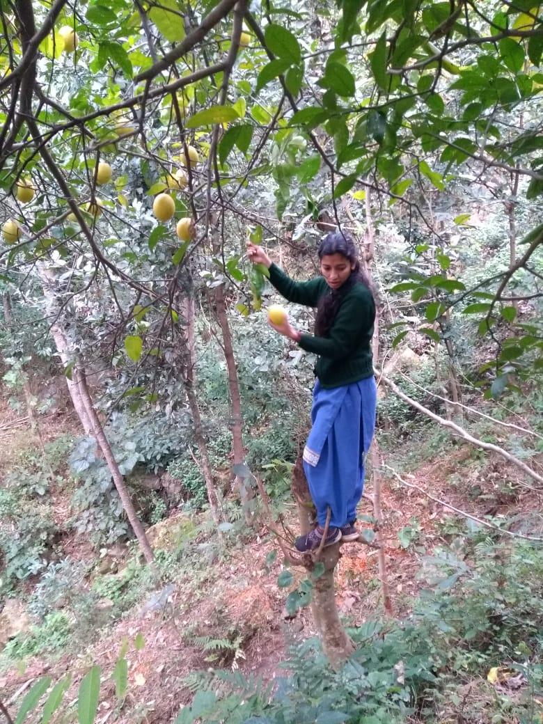 Citrus pseudolimon Tanaka- Galgal (गलगल), Khtta.