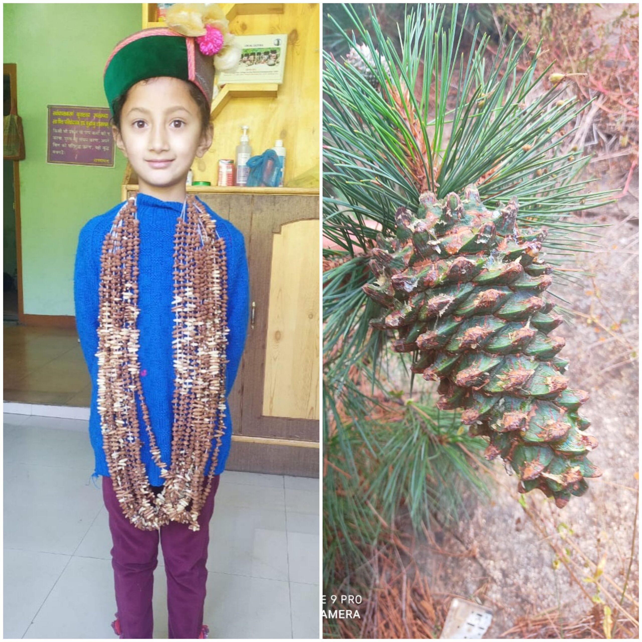 Pinus gerardiana (Wall. ex D. Don)- Neoza  (नेऊजा),Chilgoza