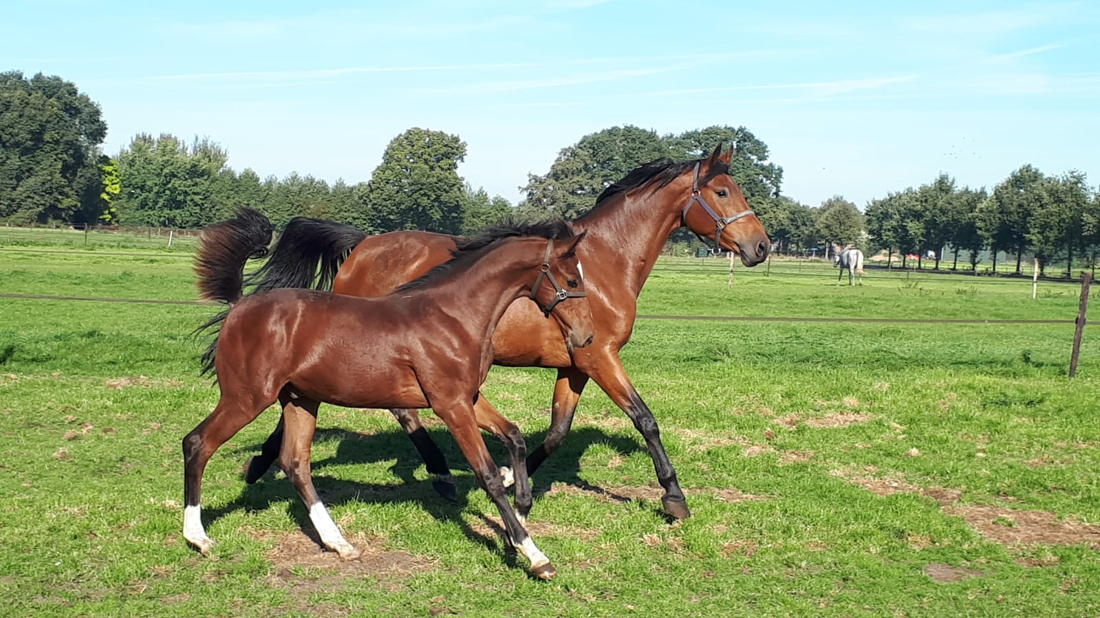 Napier AASJ with dam Inderella (Zirocco Blue x Caretino) 5 Oct 2018