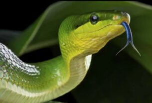 snake with broken tounge
