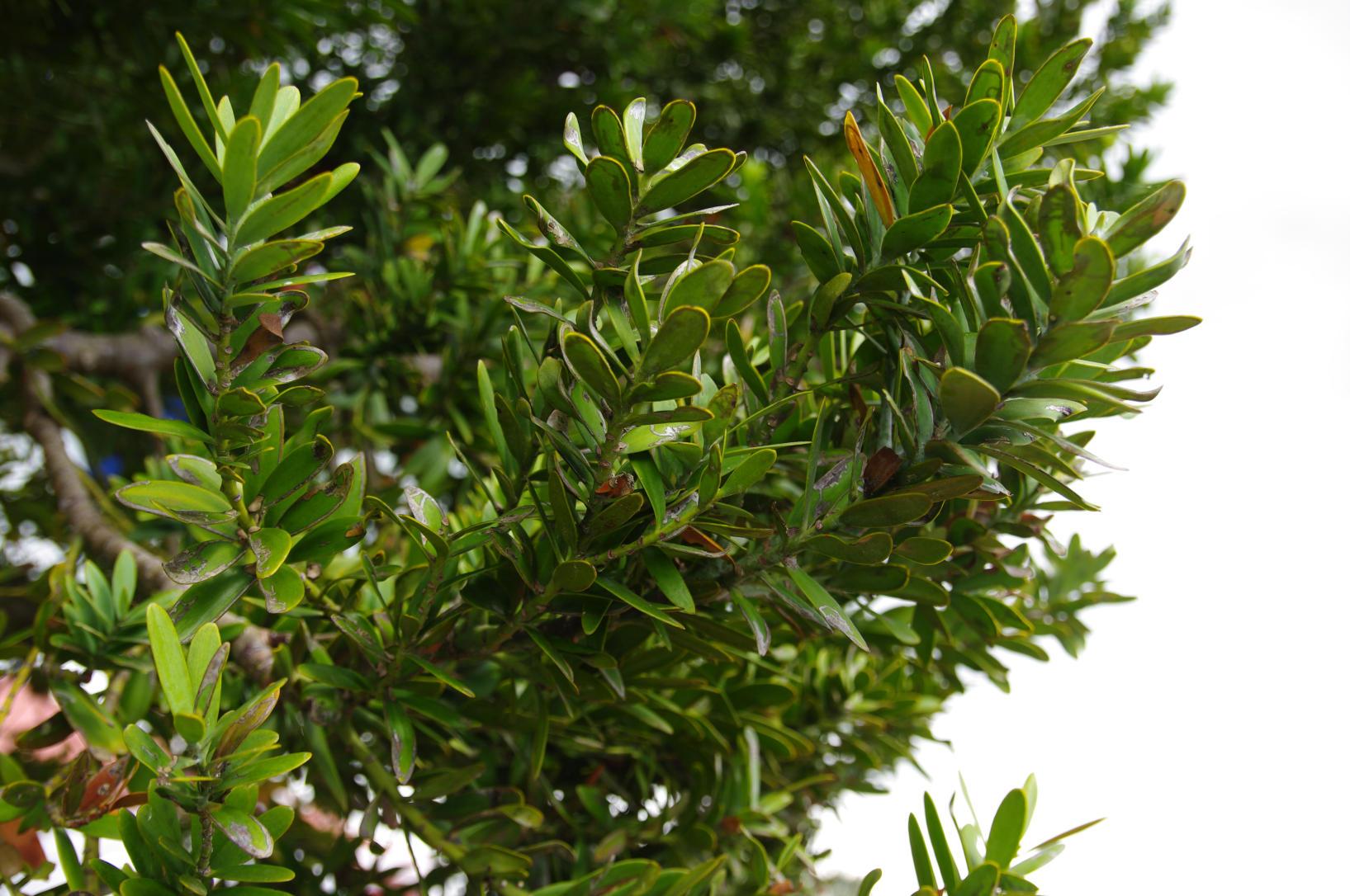 NZ Kauri Tree