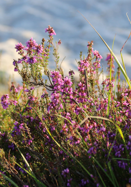 Heather at Shatterford