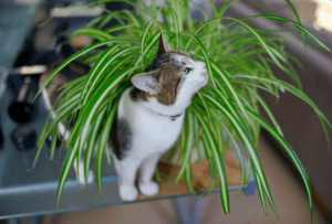 SPIDER PLANT SAFE WITH PETS