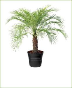 TYPES OF INDOOR AIR PURIFYING PALMS 1