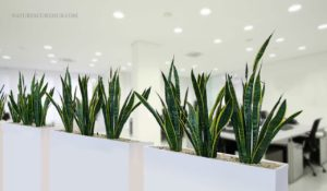 SNAKE PLANT INDOOR AIR PURIFYING PLANT 1