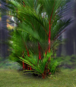 Areca Palm an indoor air purifying plant
