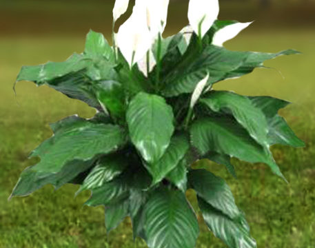 Power Petite Peace Lily