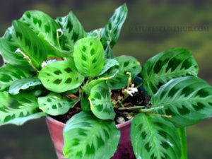Prayer Indoor Air purifying plant