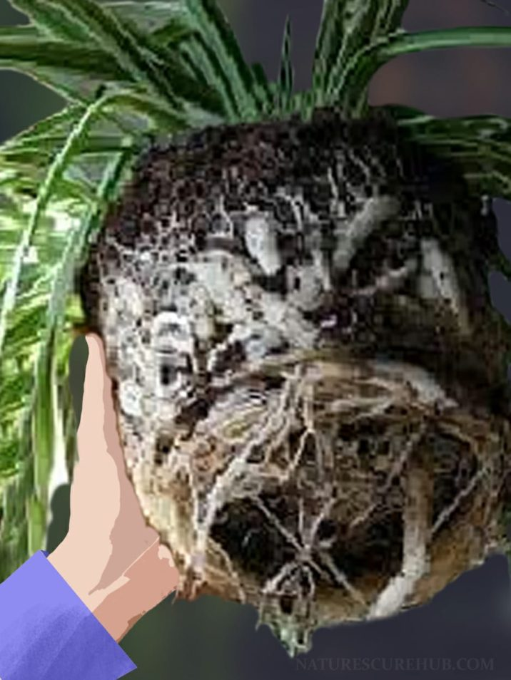 Repotting of Spider Plant
