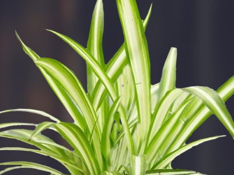 SPIDER PLANT THE BEST INDOOR AIR PURIFYING PLANT 2