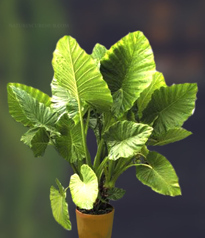ELEPHANT-EAR-PHILODENDRON