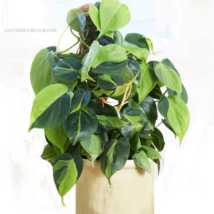 HEART-LEAF-PHILODENDRON houseplant