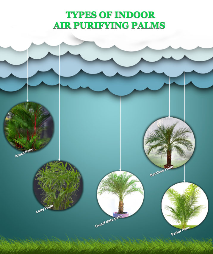 Indoor Air purifying palms