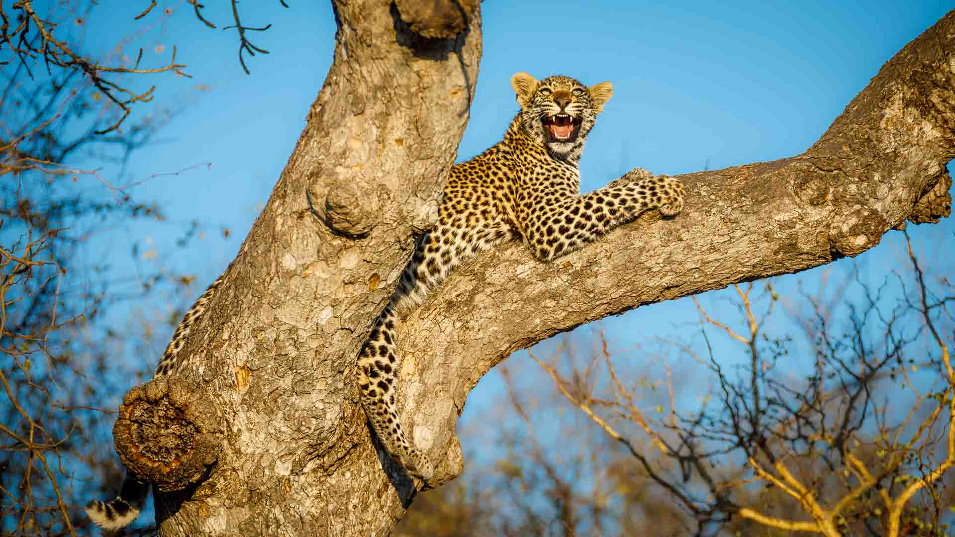 Leopard lying on a tree branch at Tanda Tula in the Timbavati Game Reserve, part of the Greater Kruger National Park, South Africa - Photo credit: Chad Cocking