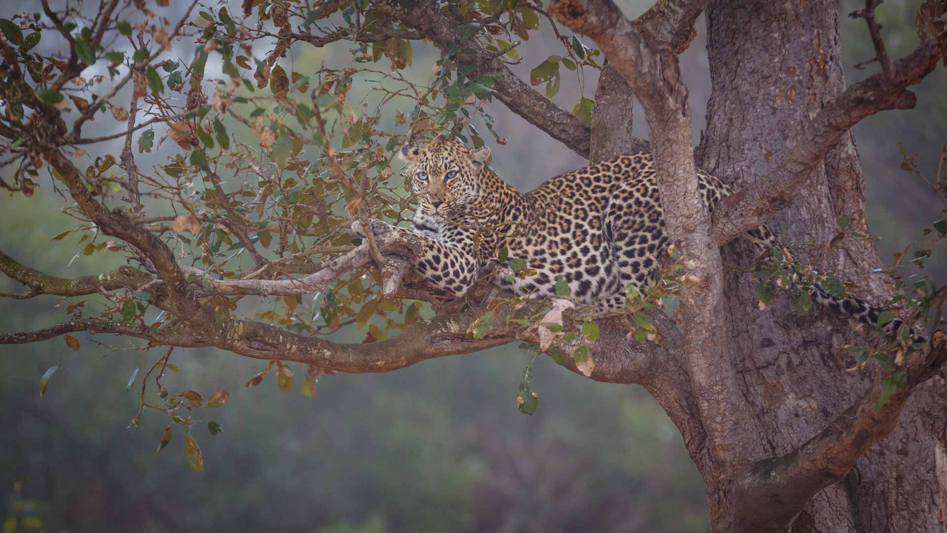 Photo credit: Chad Cocking | A leopard resting on a tree branch at Tanda Tula in the Timbavati Game Reserve, South Africa.
