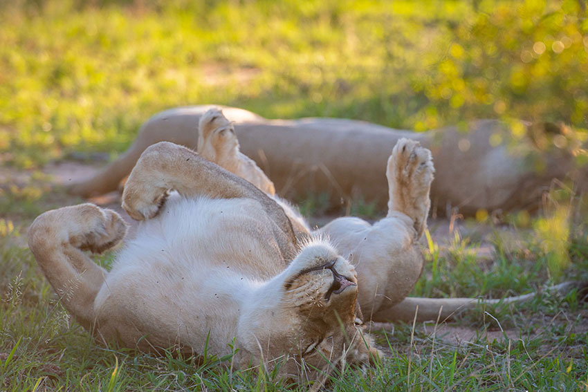 Tanda Tula - lions lazing in the grass in the Greater Kruger National Park