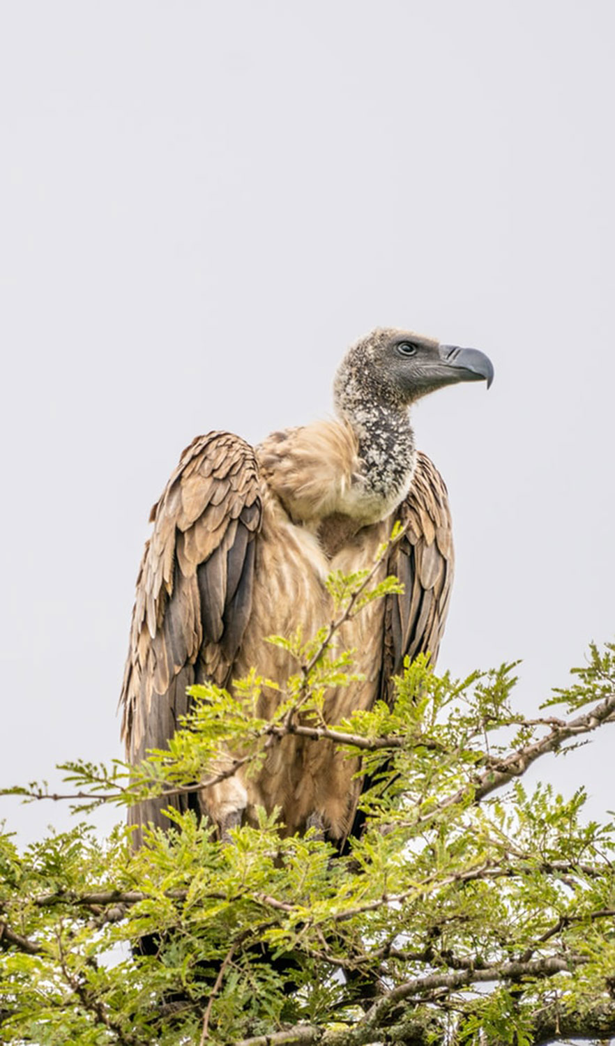 Tanda Tula Vulture Research Project