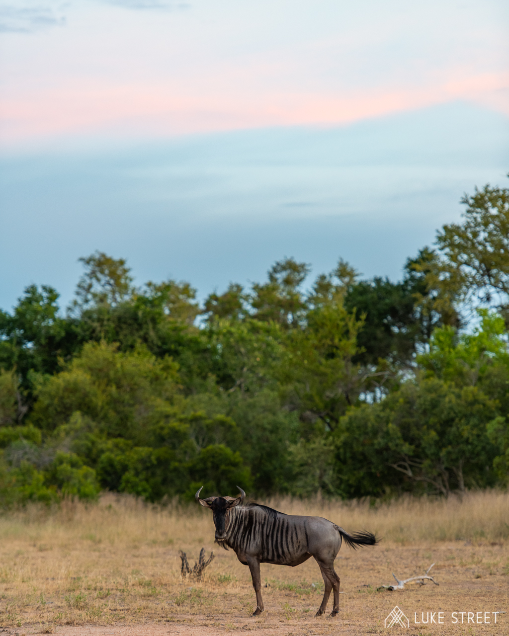 Tanda Tula majestic wildebeest by Chad Cocking, Greater Kruger