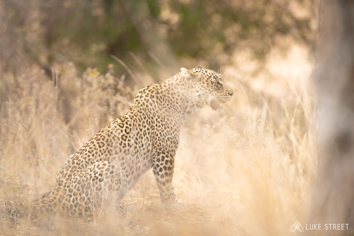 Tanda Tula - Nyeleti leopard on the best safari in South Africa