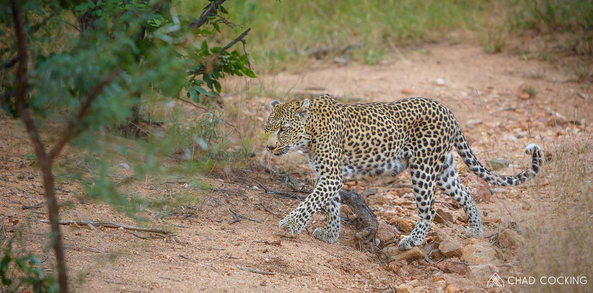 Tanda Tula - lactating Nthombi leopardess in the Greater Kruger