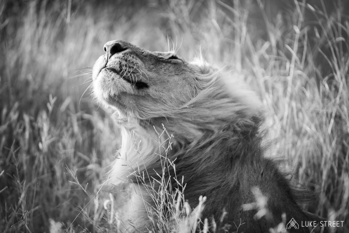 Tanda Tula - Nharhu lion shaking his mane in the Greater Kruger, South Africa