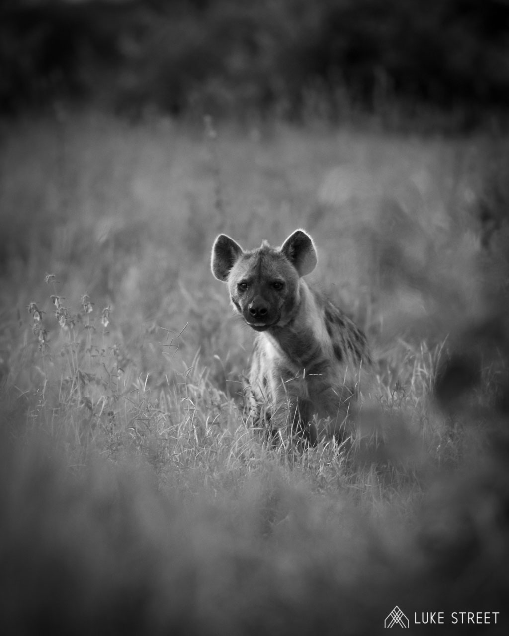 Tanda Tula - hyena in the Greater Kruger