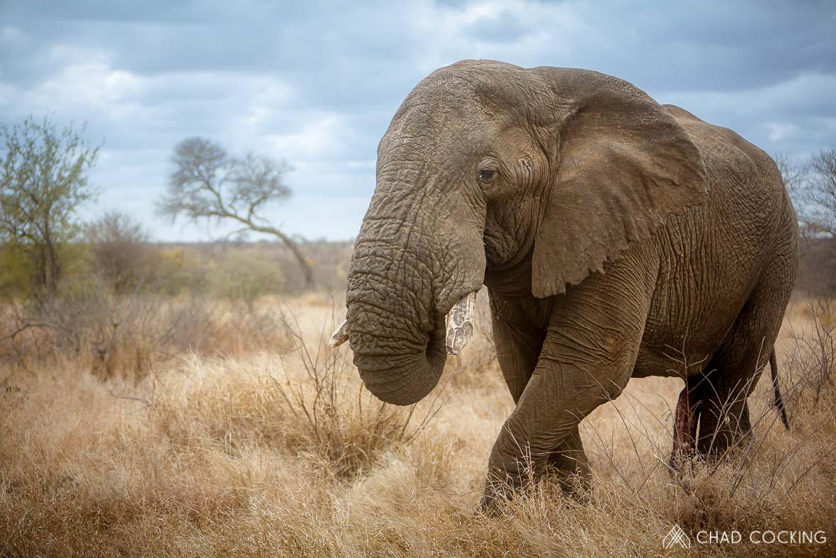 An Elephant named Apollo at Tanda Tula in the Timbavati Game Reserve, part of the Greater Kruger National Park, South Africa - Photo credit: Chad Cocking