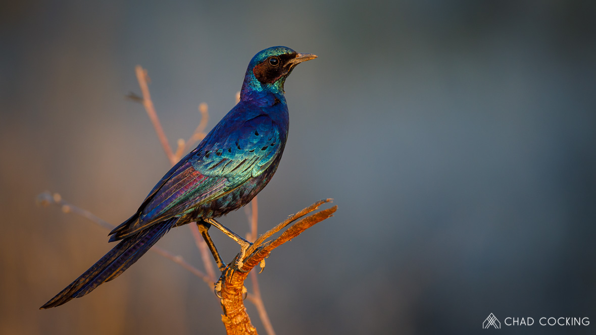 Photo credit: Chad Cocking - Burchell's starling at Tanda Tula in the Timbavati Game Reserve, South Africa.