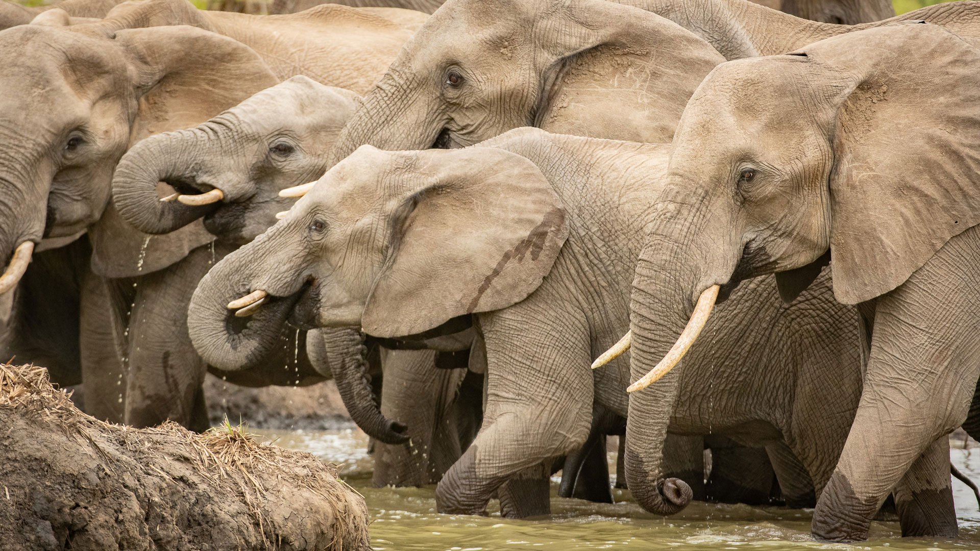 Tanda Tula - elephants in the mud in the Greater Kruger, South Africa