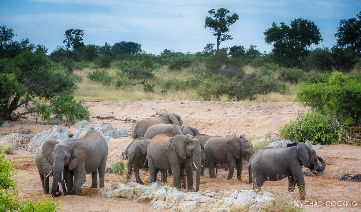 Tanda Tula - elephant herd digging for water in the riverbed