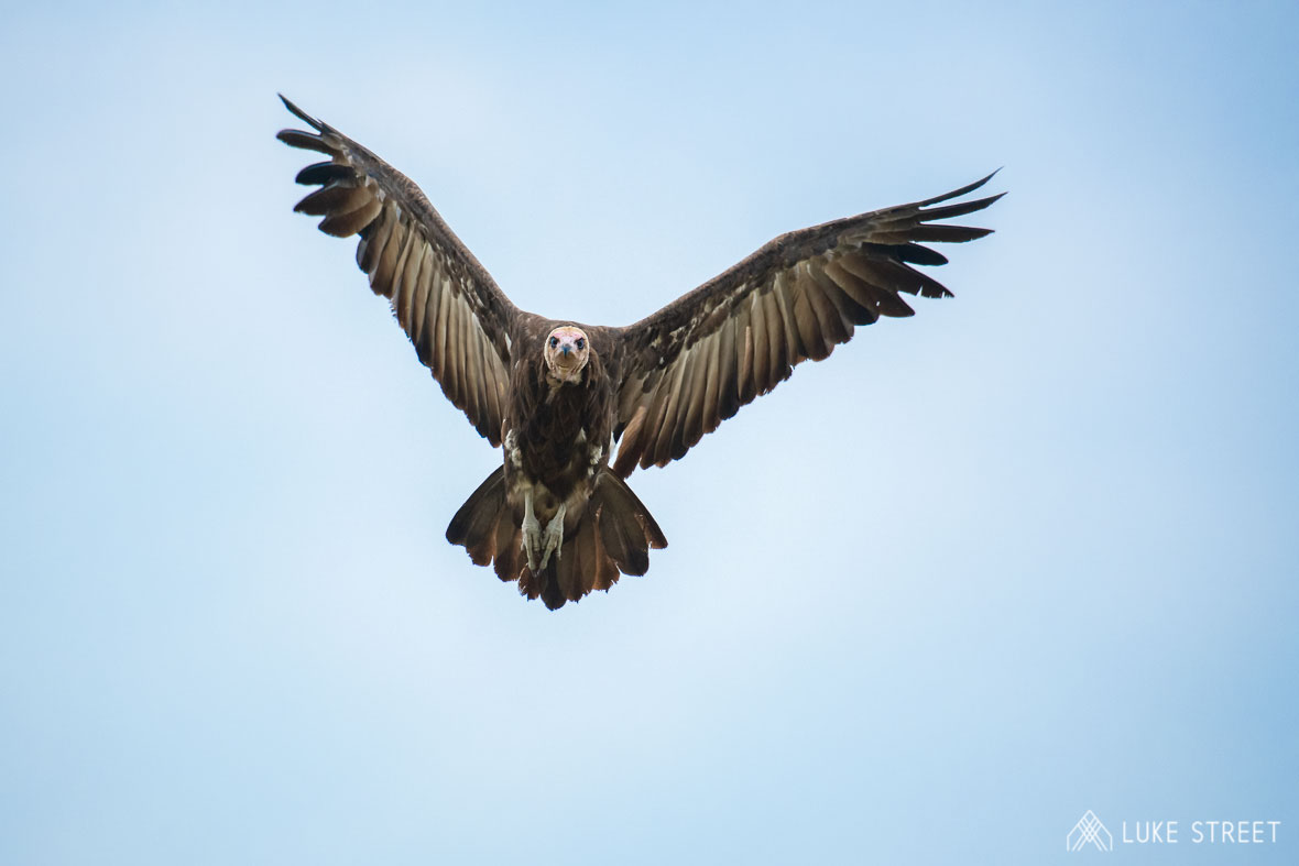 Tanda Tula - vulture flying in the air in the Greater Kruger