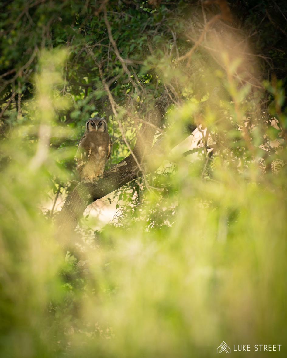 Tanda Tula - Giant Eagle Owl in the Greater Kruger