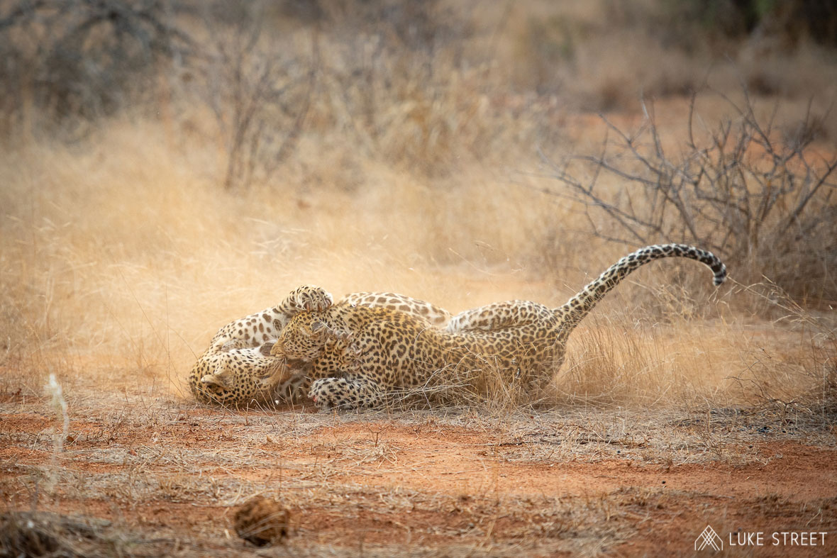 Tanda Tula - leopard brawl in the Greater Kruger, South Africa