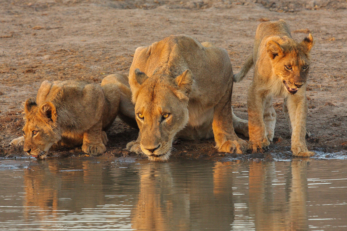Tanda Tula - Machaton lions drinking in the Greater Kruger