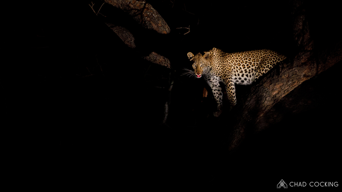 Photo credit: Chad Cocking | A leopard up a tree at night at Tanda Tula in the Timbavati Game Reserve, South Africa.