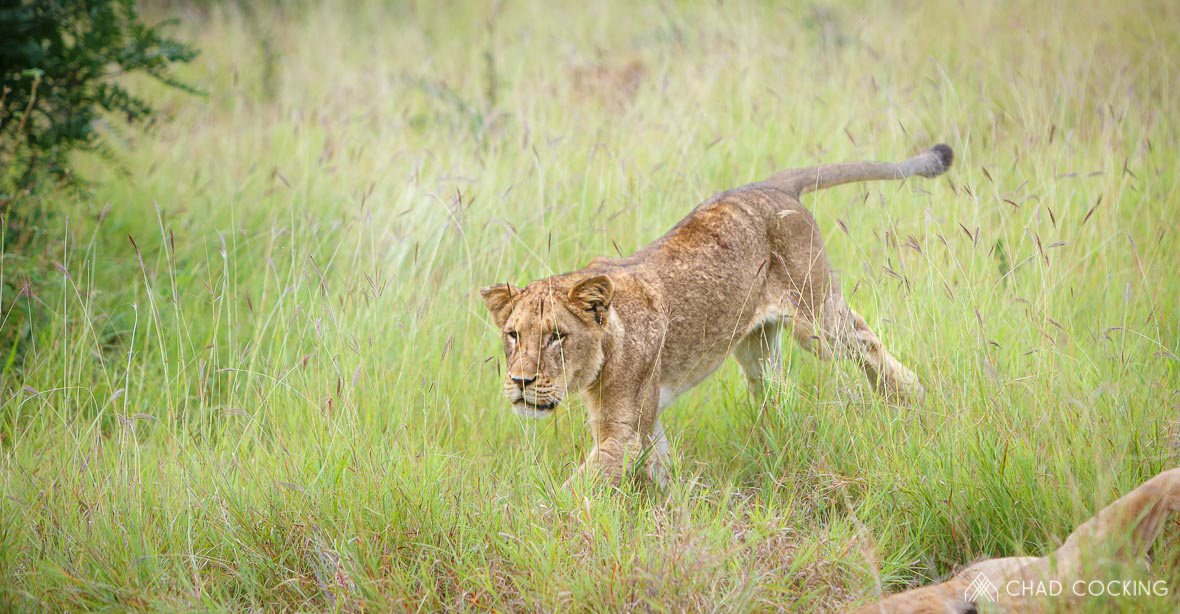 Tanda Tula - Mayambula young male lion running in the Greater Kruger