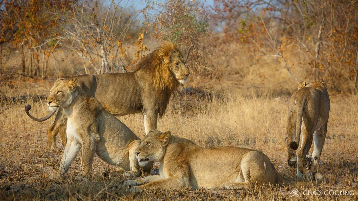 Lion pride at Tanda Tula in the Timbavati Game Reserve, part of the Greater Kruger National Park, South Africa - Photo credit: Chad Cocking