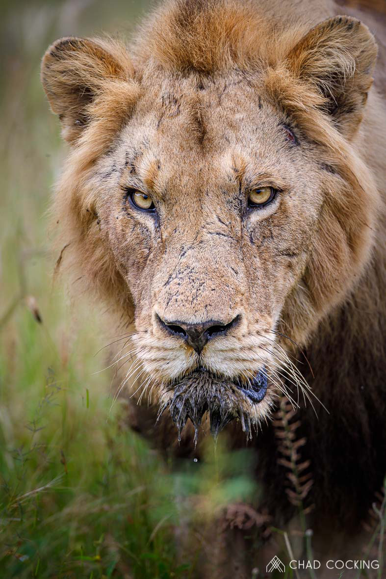 Tanda Tula - Mbiri male lion on the prowl in the Greater Kruger