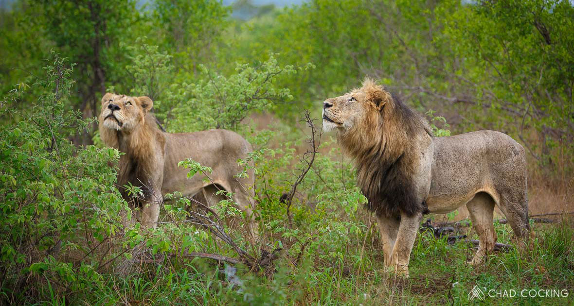 Tanda Tula - Mbiri male lions in the Timbavati
