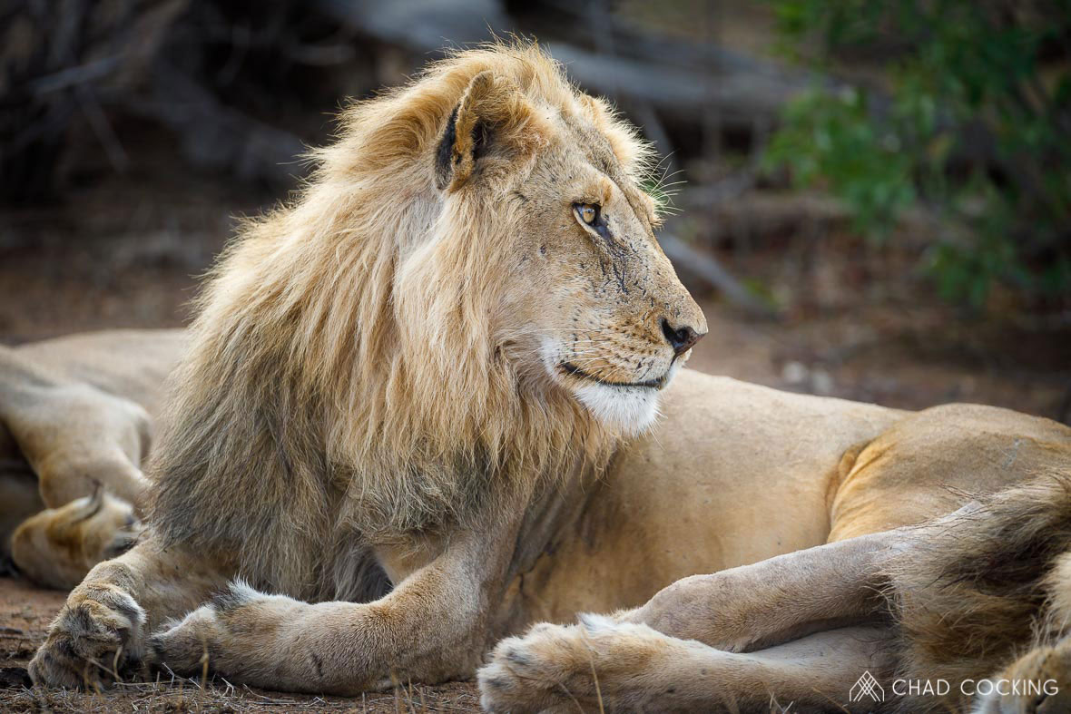 Tanda Tula - new male lion in the Timbavati