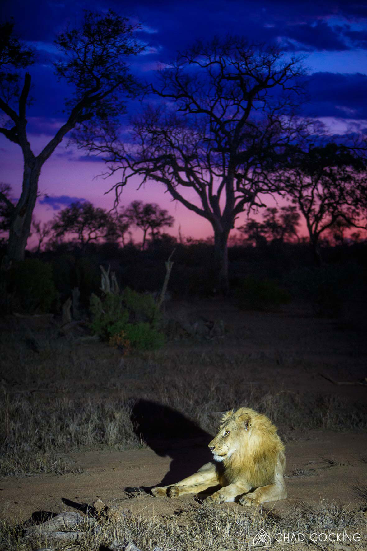 Tanda Tula - new male lion at sunset in the Timbavati