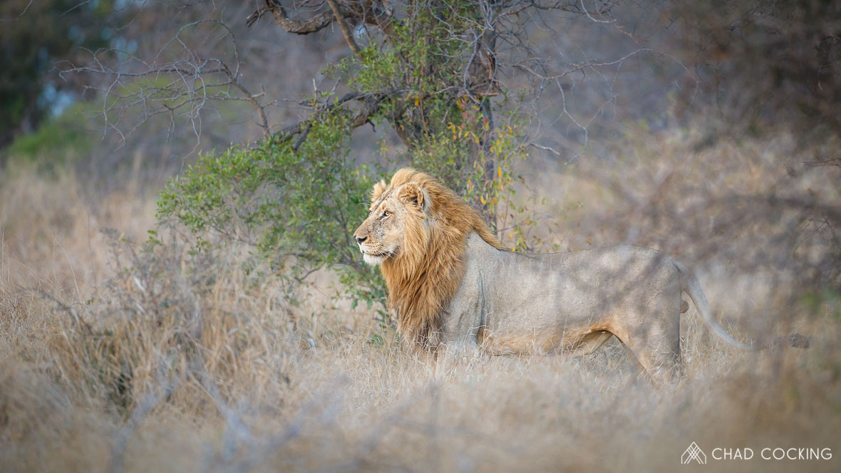 Photo credit: Chad Cocking - A regal male lion lion at Tanda Tula in the Timbavati, South Africa